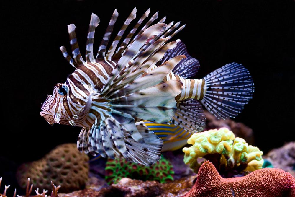 How did lionfish arrive to the Sian Ka'an Biosphere?