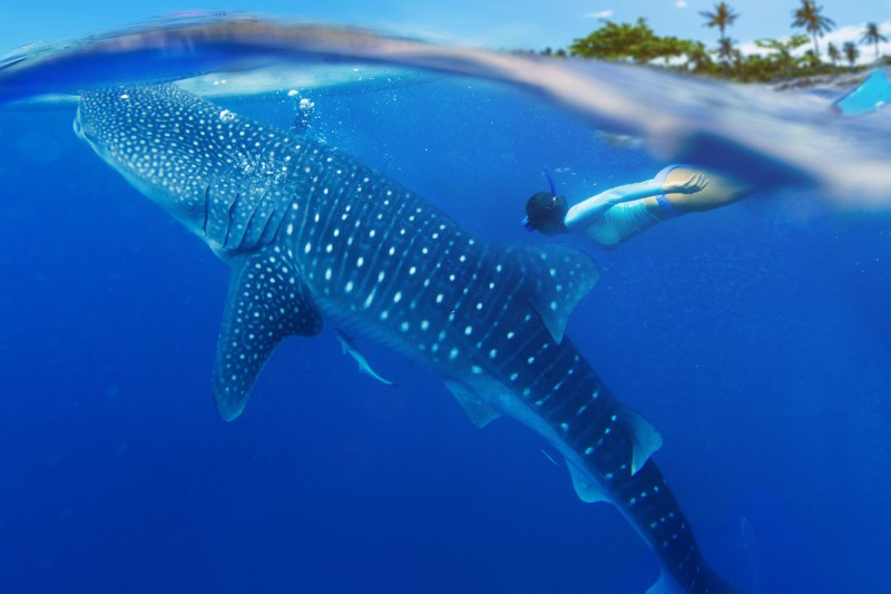 Swimming with Whale Sharks in Sian Ka'an