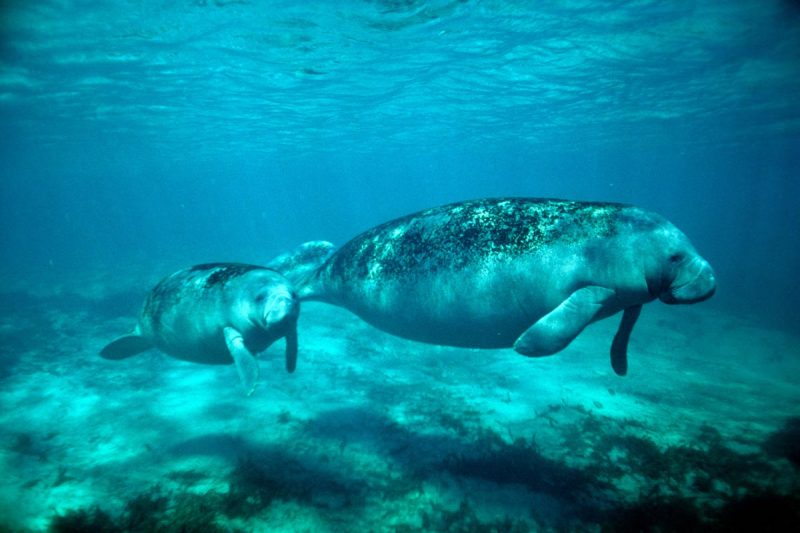 Manatees in the Sian Ka'an Biosphere